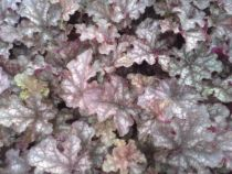 Heuchera \'Can can\'