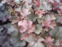 Heuchera \'Chocolate ruffle\'