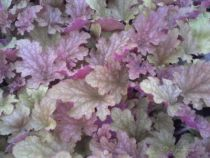 Heuchera \'Ginger peach\'