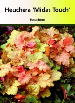 Heuchera \'Midas Touch\'