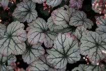 Heuchera \'Sugar Plum\'