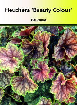 Heuchera \' Beauty Color \', vivace de mi-ombre persistante, très colorée même en hiver