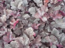 Heuchera little cuties \'Coco\'