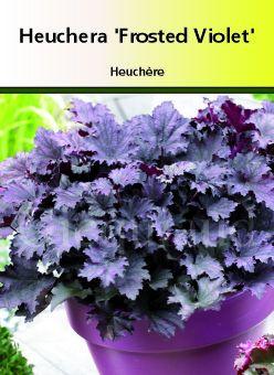 Heuchera villosa \'Frosted Violet \'