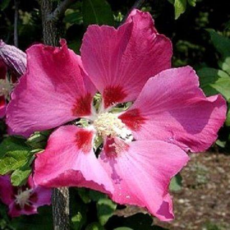 hibiscus syriacus woodbridge grandiflora