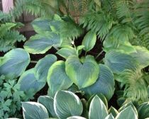 Hosta AlvatineTaylor