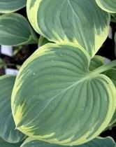 Hosta Forest Fire