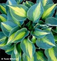 hosta touch of classindex