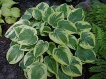 hosta wide bimindex