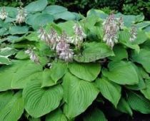 hosta elata index
