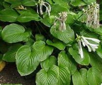 Hosta plantaginea \'Grandiflora\'