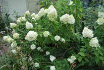 Hydrangea* paniculata \'Limelight\' ®