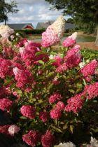 Hydrangea* paniculata Fraise Melba® \'Renba\'
