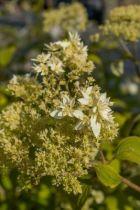 Hydrangea arborescens \'Hayes Starburst\'