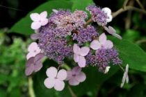 Hydrangea aspera villosa \'High Down Form\'
