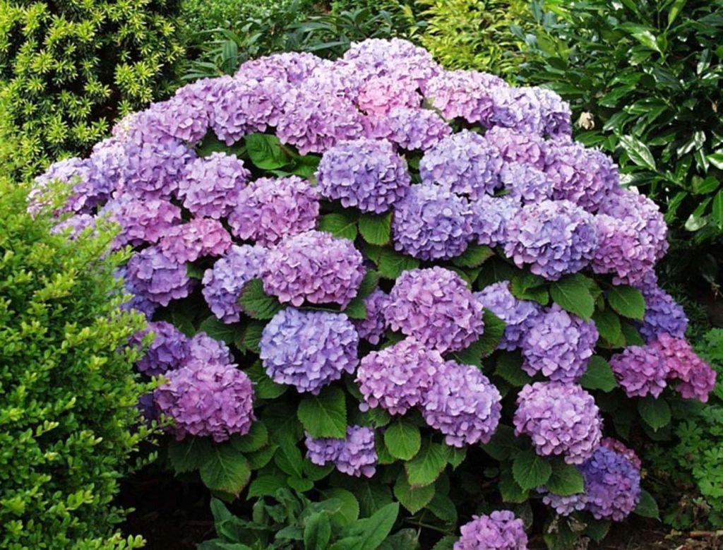 foto de floraison hortensia
