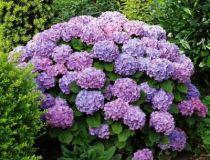 Hydrangea macrophylla \'Renate Steiniger\' ou hortensia pour le jardin à floraison d\'été en boule bleue foncé, exposition à l\'ombre ou à mi-ombre en sol acide et frais