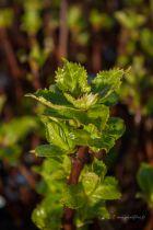 Hydrangea macrophylla \' Sœur Thérèse \'