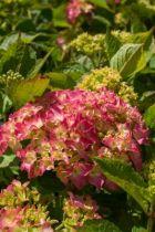 Hydrangea macrophylla rose ou hortensia rose, un classique de nos jardin à l\'ombre. Floraison rose en été, en sol frais.