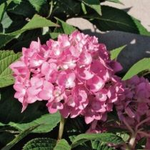 Hydrangea macrophylla Dutch Ladies \'Sabrina\'