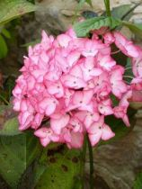 Hydrangea macrophylla Dutch Ladies \'Salsa\'