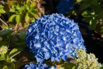 hydrangea macrophylla \'Kuhnert\', arbuste caduc à fleurs en boule bleu ou rose suivant l\'acidité du sol.