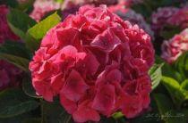 Hydrangea macrophylla \'Maman rouge\', hortensia de jardin au feuillage vert caduc et aux fleurs en boule rose à rouge en été.