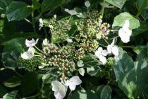 Hydrangea macrophylla \'Tricolor\' ou hortensia à floraison à tête plate blanche et au feuillage panaché de blanc et de jaune.