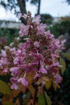 Hydrangea paniculata \'Pinky Winky\'