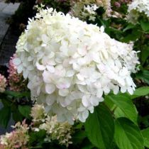 Hydrangea paniculata \'selection\'