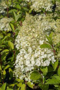Hydrangea paniculata 'Bobo' est un hortensia aux fleurs blanches paniculées de petite taille, ne dépassant pas 80 cm de haut et à floraison spectaculaire d'août à octobre.
