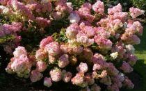 Hydrangea paniculata \'Vanille-Fraise\' ou hortensia en panicule blanche et rose en �t� pour une exposition mi-ombre ou ombre au jardin.
