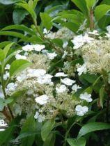 Hydrangea seemanii