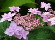 Hydrangea serrata \'miyama yae murasaki\'