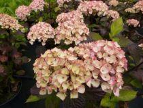 hydrangea serrata preciosa ou hortensia de jardin à feuillage pourpré et à fleur blanc vert virant au rose puis rouge en été.