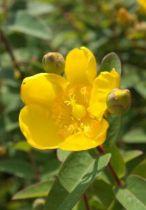 Hypericum Hidcote, arbuste semi persistant vert à la longue floraison jaune en été automne.