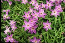Ipheion uniflorum \'Charlotte Bishop\'