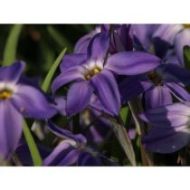 Ipheion uniflorum \'Froyle Mill\'