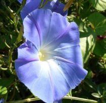 Ipomée volubilis \'Heavenly Blue\'