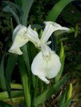 Iris* pseudacorus \'Creme de la creme\'