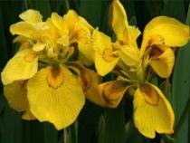 Iris* pseudacorus \'Flore Pleno\'