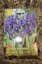 Iris de Hollande \'Reticulata\'