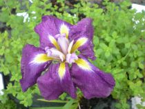 Iris ensata \'Cry of Rejoice\', vivace caduque au feuillage vert et à la floraison violet au coeur jaune en juin-juillet.