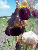 Iris germanica \'Alcazar\', vivace à feuilles vertes persistantes et aux fleurs bleu pâle, violet et jaune au printemps.