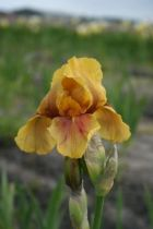 Iris germanica \'Apache Warrior\', vivace à feuilles vertes persistantes et aux fleurs jaune brun avec des tâches brunes aux printemps.