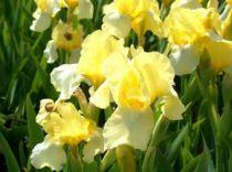 Iris germanica \'Blessed Again\', vivace à feuilles vertes caduques et aux fleurs jaune clair au printemps.