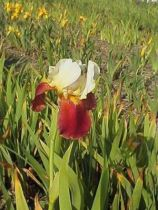 Iris germanica \'Broadway Star\', vivace à feuilles vertes persistantes et aux fleurs blanc jaunâtre et jaune au printemps.