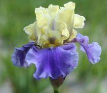 Iris germanica \'Edith wolford\', vivace à feuilles vertes persistantes et aux fleurs jaunes et bleus au printemps.