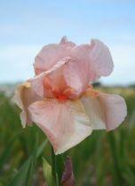 Iris germanica \'Glacier Sunset\', vivace à feuilles vertes persistantes et aux fleurs roses pâle et saumons au printemps.