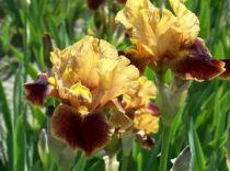 Iris germanica \'Hissy Fit\', vivace à feuilles vertes persistantes et aux fleurs jaunes et brunes au printemps.
